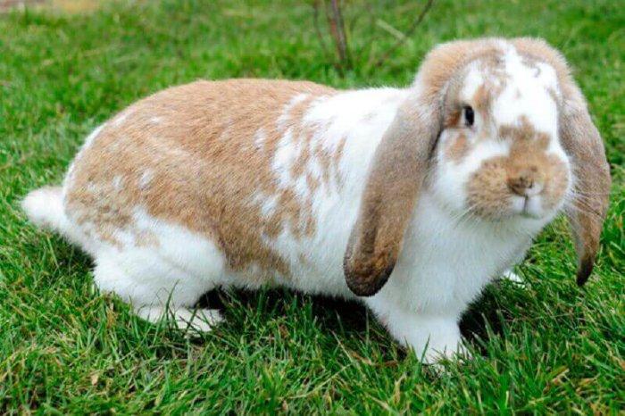 Крольчиха породы карликовый баран
