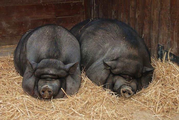 Откормленные свиньи