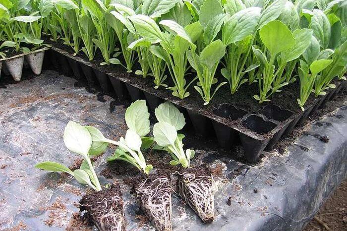 Рассада белокочанной капусты