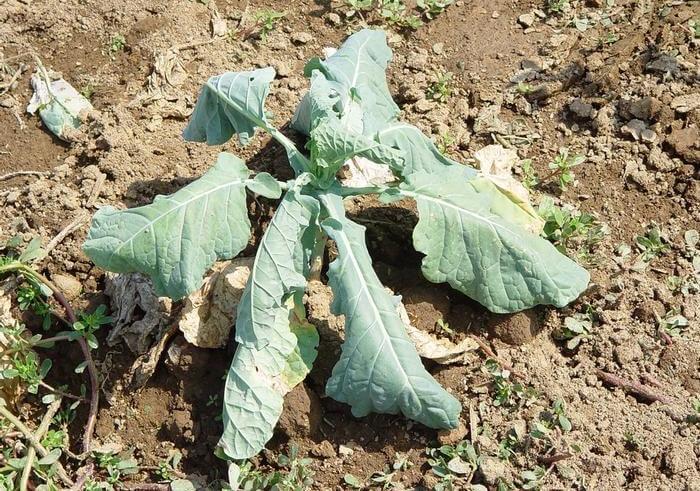 Plasmodiophora brassicae Wor
