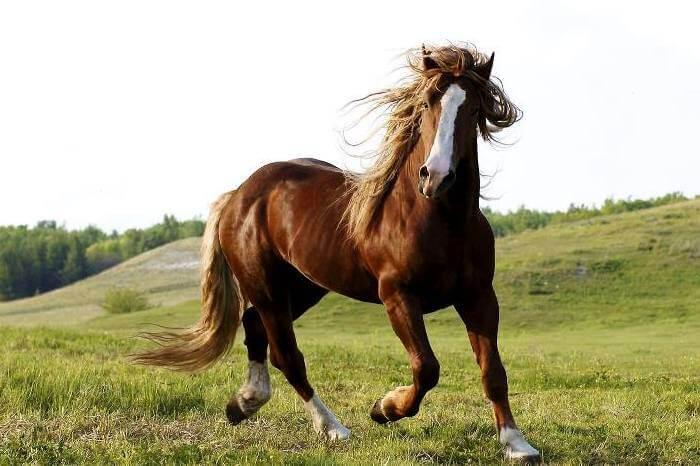Туркменские лошади
