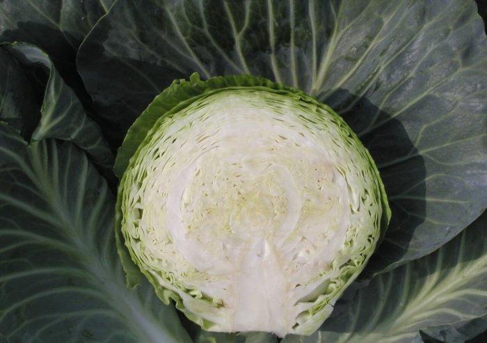 Сорт капусты Атрия высокоурожайный