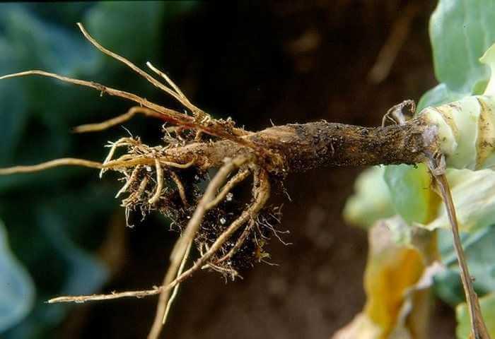 Гниение корневой шейки