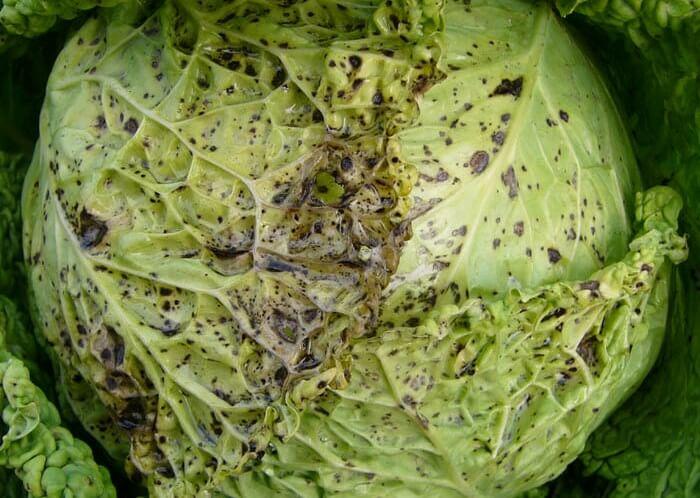 Вирус мозаики капусты