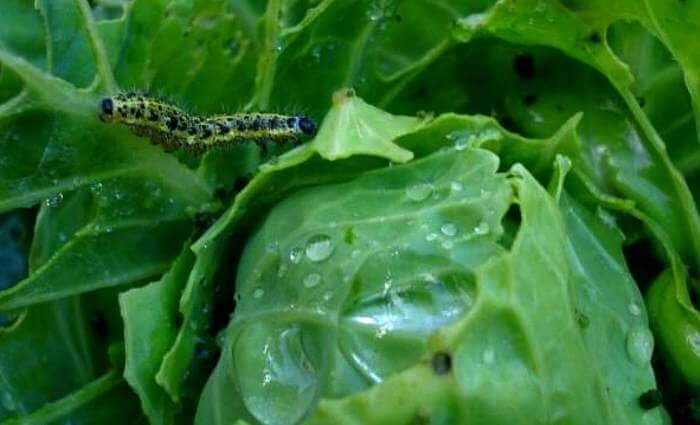 Гусеницы на капусте