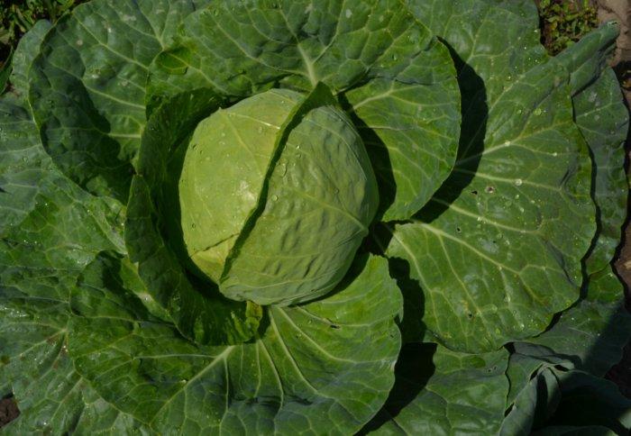 Популярный сорт капусты Казачок