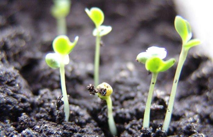 Семена капусты взошли