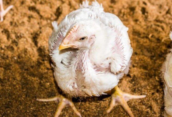 Болезнь курицы
