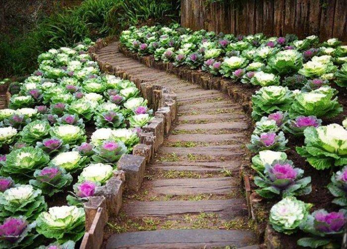 Декоративная капуста Осака