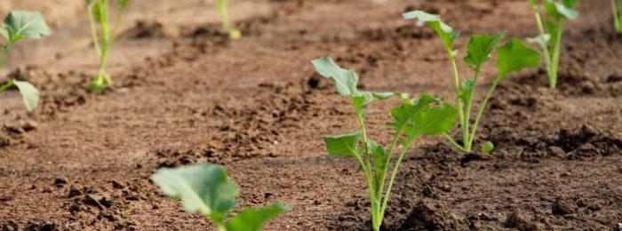 Как растет цветная капуста