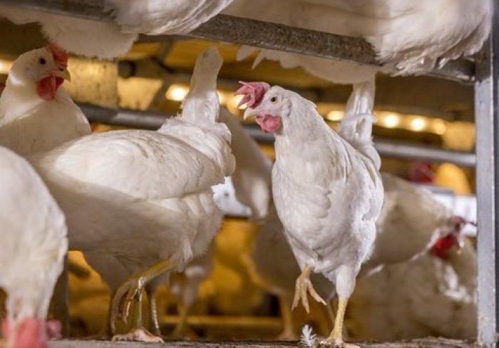 Курицы породы Декалб