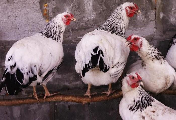Как выглядит первомайская курица