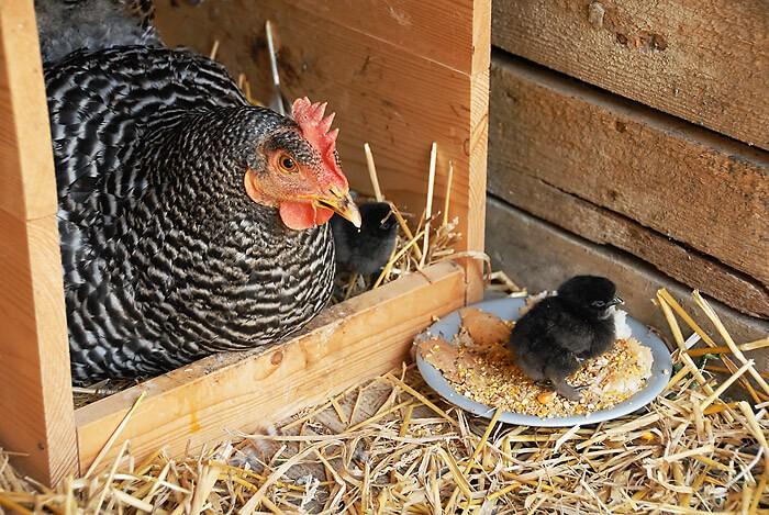 Курица амрокс с цыпленком