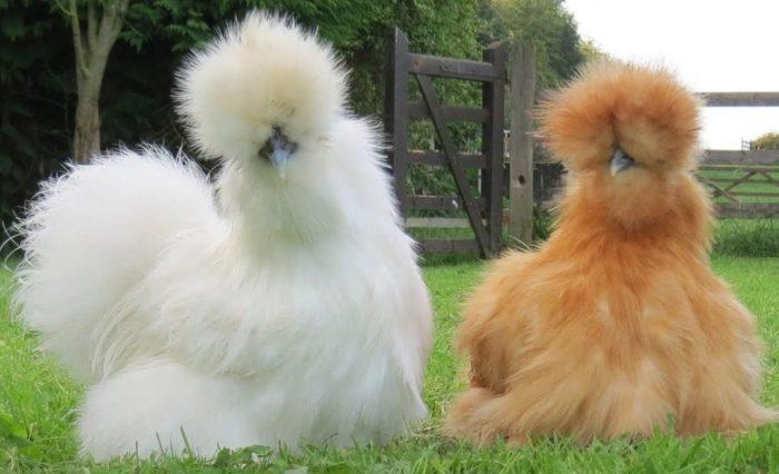 Китайская шёлковая порода кур