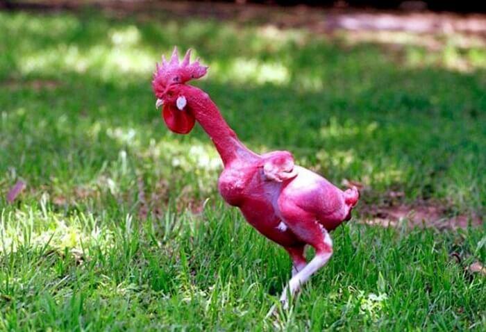 Лысая порода кур