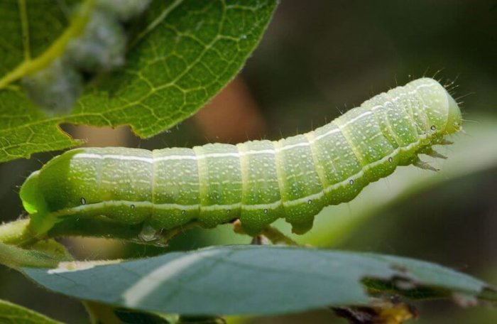 Гусеницы бабочек совки