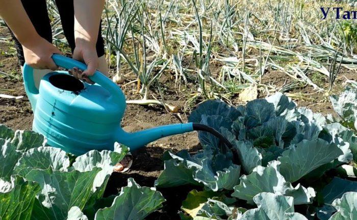 Как подкармливать капусту