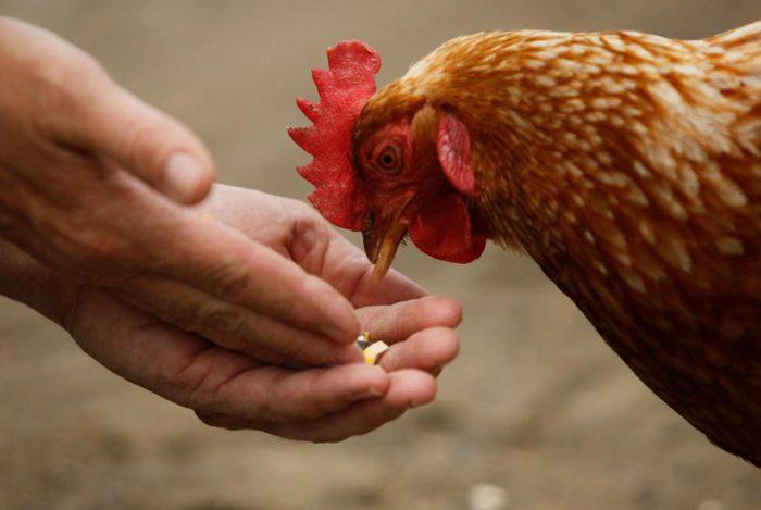 Кормление курицы