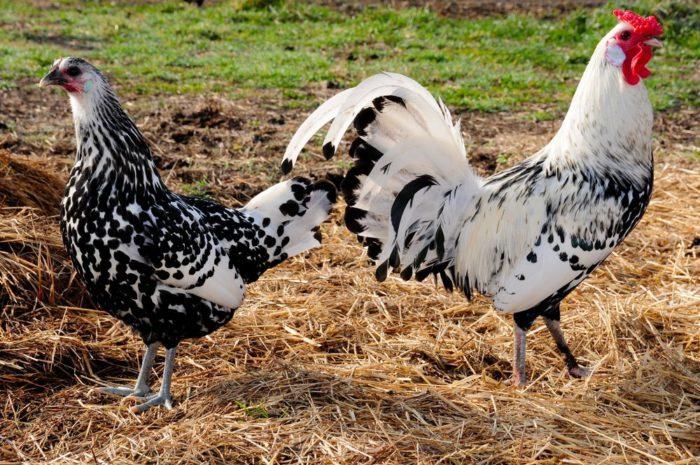 Гамбургские петух и курица