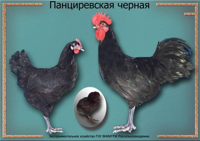 Куры панциревские черные