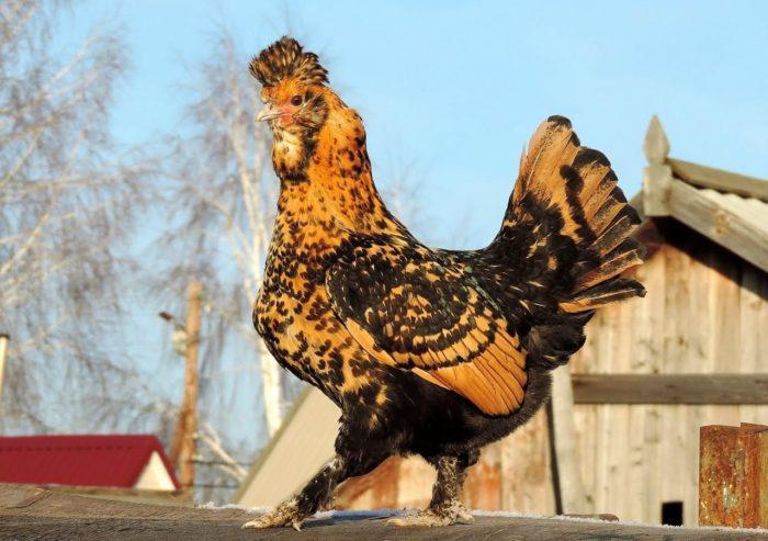 Порода кур с мохнатыми лапами павловская