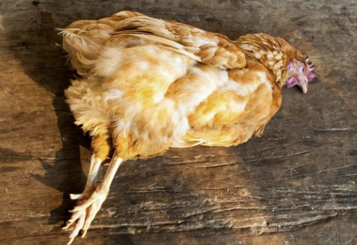 Сальпингит у курицы