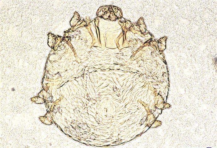 Клещ Knemidocoptes