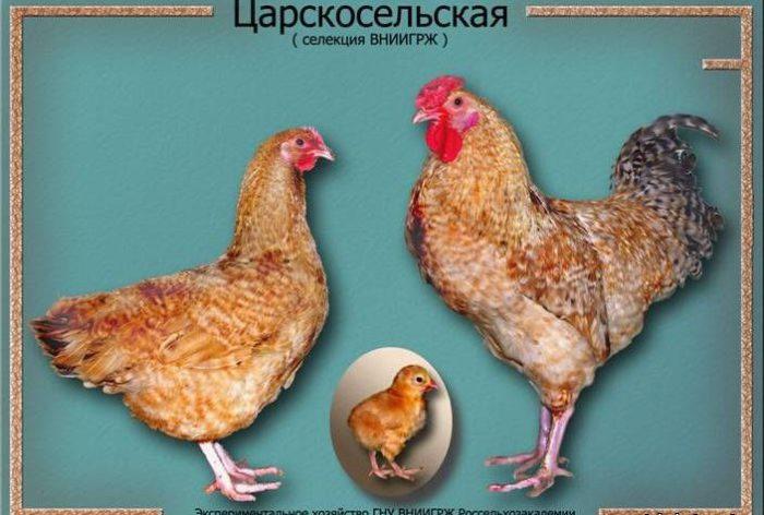 Внешность кур царскосельской породы