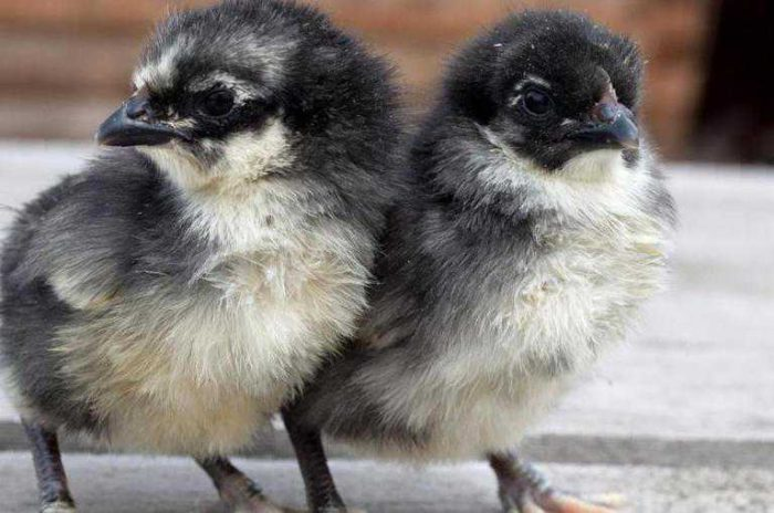 Цыплята породы