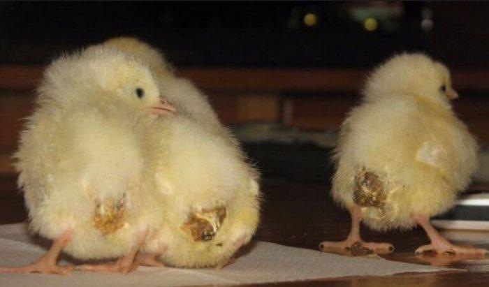 Загрязнённая клоака у цыплят