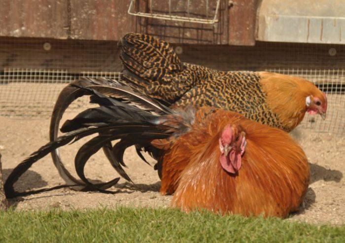 Порода кур вестфальский тотлегер