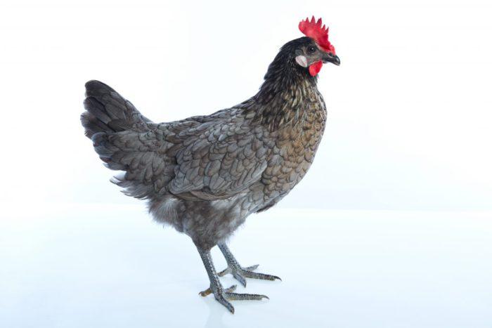 Андалузская курица