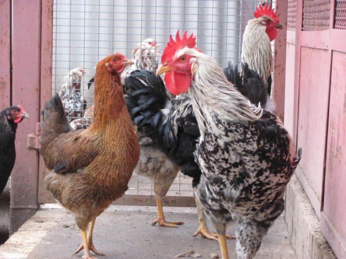 Юрловская голосистая порода кур