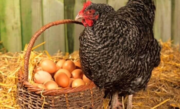 Получение яиц в домашнем хозяйстве