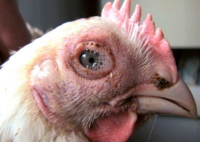 Конъюнктивит у кур