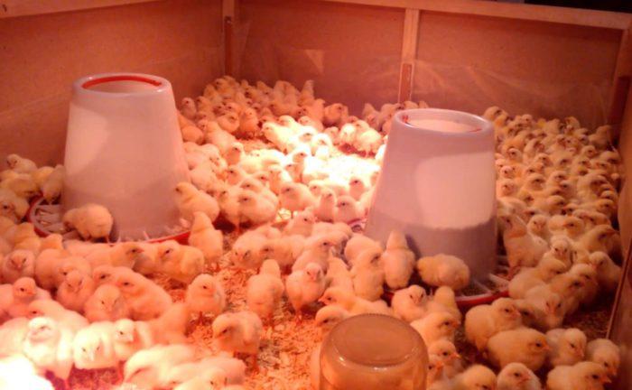 Отопление курятника для цыплят