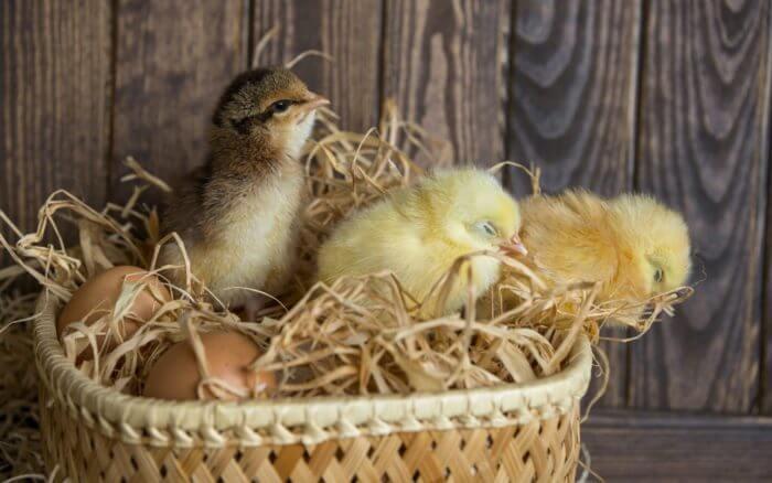 Цыплята в корзине