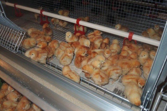 Цыплята тетра