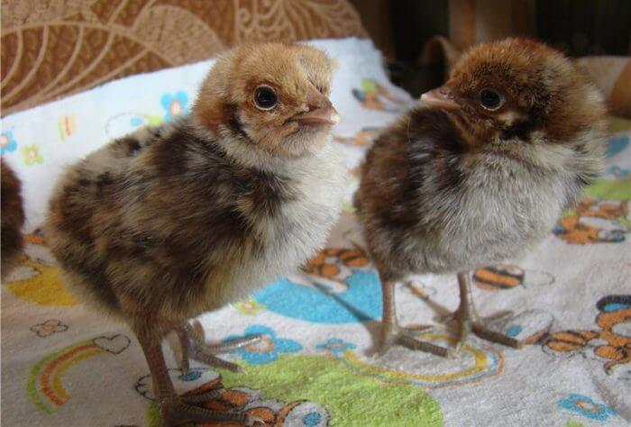 Цыплята кур Брекель