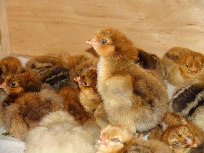 Цыплята редбро