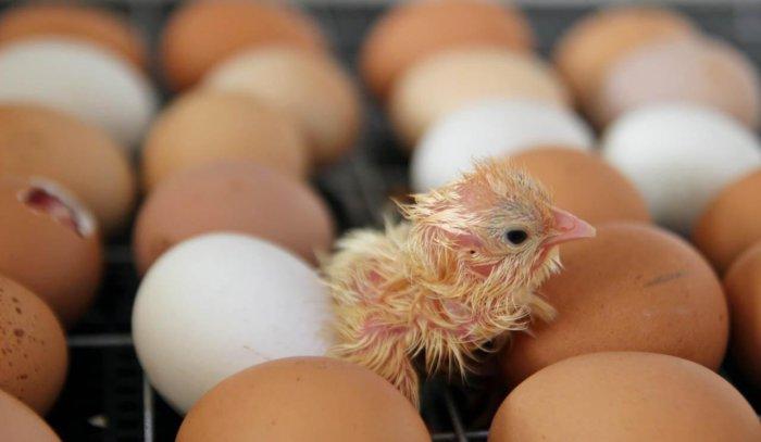 Цыплёнок появился на свет