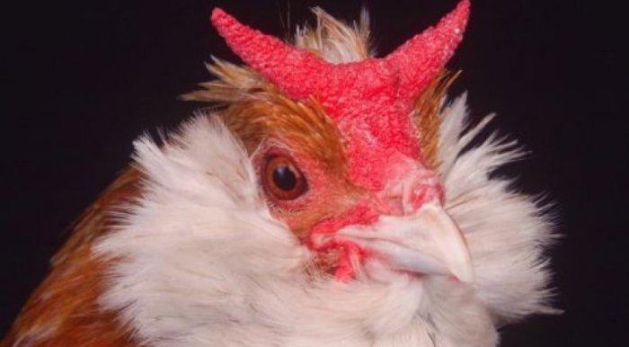 Брабантская курица