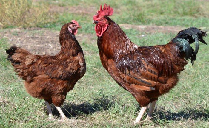 Петух и курица родонит