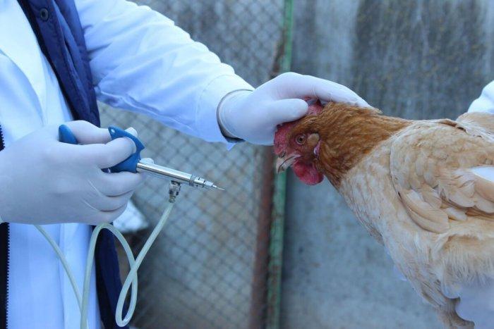 Вакцинация защитит птиц от инфекций