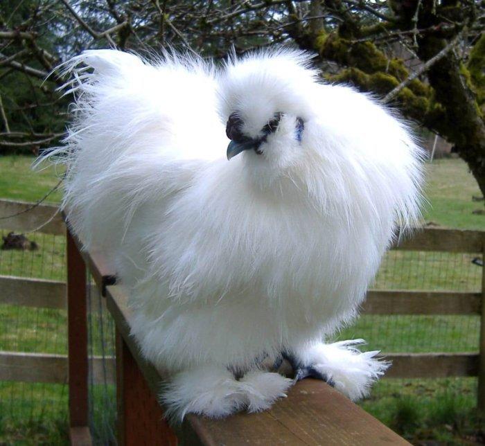 китайская шелковая курица фото одного