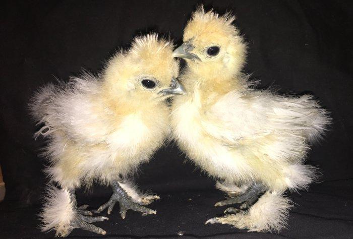 Цыплёнок пуховой курицы