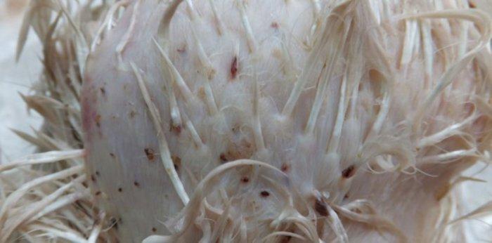 Пушистые куры часто страдают от кожных паразитов