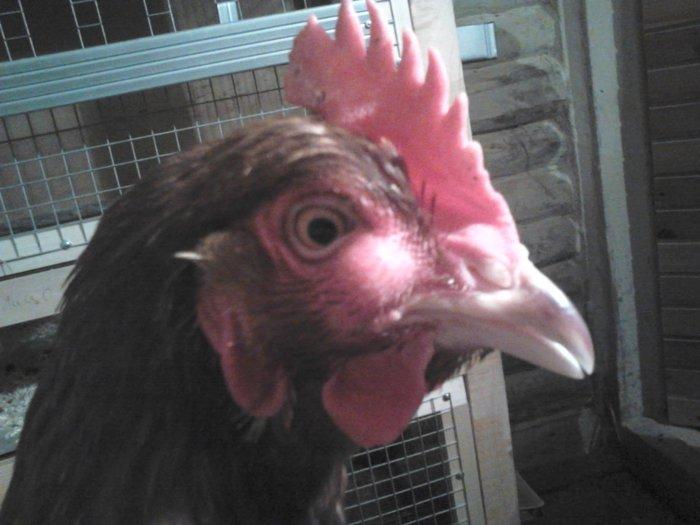 Шишка на глазу у курицы