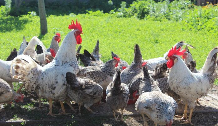 Поголовье борковских барвистых кур