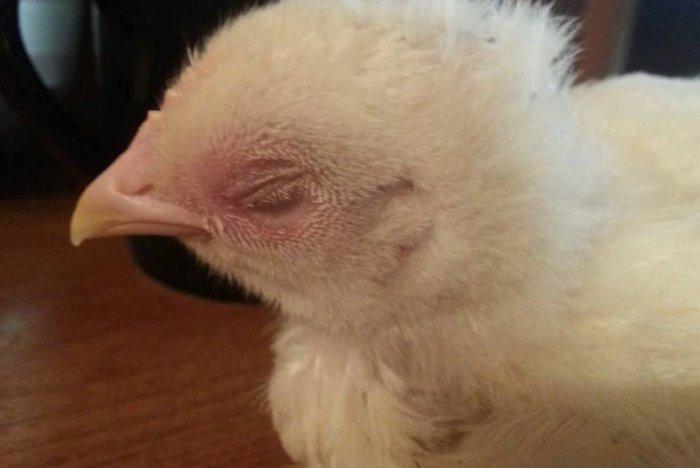 У цыплёнка покраснели веки